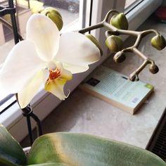 Rozkwita po raz kolejny ❤ #storczyk #białystorczyk #orchidea #kwitnacystorczyk #orchid #blooming #morning #goodmorning #dzieńdobry #poranek