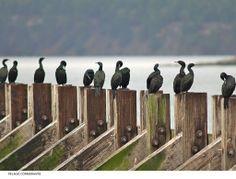 Pelagic cormorants at the ferry dock on Saturna Is. BC by Petrus Pienaar British Columbia, Islands, Canada, Birds, Heart, Places, Summer, Travel, Life