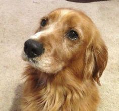 This is Ace - 3 yrs. He has lived outside & with little training. He is in foster & learning to live indoors. He is neutered, current on vaccinations, potty trained & good with dogs & kids. He know basic commands but would benefit from  a refresher course in obedience class. Ace is a purebred Golden Retriever & on the small side at 45lbs. Golden Rescue South Florida. http://goldenrescue.weebly.com/