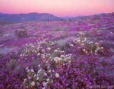 Death Valley Superbloom