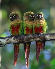Exotic birds - Yellow Sided Green Cheek Conures