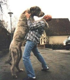 I've always wanted a Irish Wolfhound for a lap dog.) Says my friend Renee Huge Dogs, Giant Dogs, I Love Dogs, Beautiful Dogs, Animals Beautiful, Cute Animals, Amazing Dogs, Lap Dogs, Dogs And Puppies