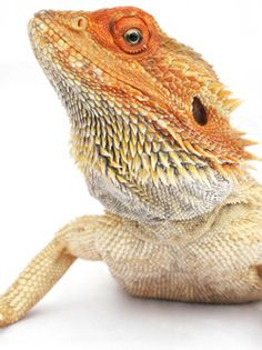 bearded-dragon..Bart got me one for an anniversary present..it was a baby and I had to get rid of it when I got pregnant with Nehemiah..He was about a foot long then..I miss Saka..