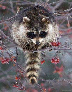 ❤️❤️ Raccoons are capable of easily unscrewing jars, uncorking bottles and…