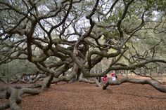The Angel Oak Tree - Charleston Tree is an absolute must see for anyone visiting Charleston South Carolina. It is on everyone's top ten list of things to do in Charleston. Despite being located on John's Island, the Angel Oak has come to symbolize Charleston South Carolina.