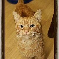 Shippenville, Pennsylvania - Domestic Shorthair. Meet Max, a for adoption. https://www.adoptapet.com/pet/19338540-shippenville-pennsylvania-cat
