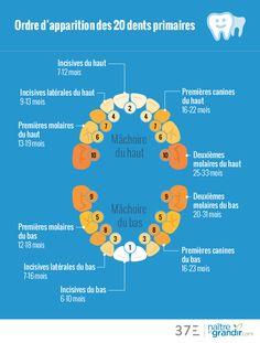 Les premières dents percent généralement vers l'âge de 6 mois. Elles peuvent toutefois apparaître plus tôt, et certains #enfants naissent même avec une ou deux dents. Dans d'autres cas, les premières dents n'apparaissent qu'à l'âge de 14 mois. Voici en #infographie l'ordre d'apparition des #dents. Baby Massage, Kids And Parenting, Parenting Hacks, Baby Corner, New Parent Advice, Baby Education, Oral Health, Orthodontics, Fibromyalgia