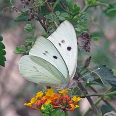 #butterflies Giant White photographed by Karl and Dorothy Legler at Resaca de La Palma State Park in Cameron County Texas http://ift.tt/2BcIIKE http://ift.tt/2jxUeJV #macro #flowers #insectagram