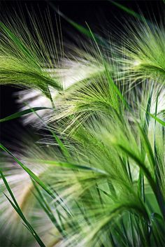 The dlightful wispy tips of Ornamental grasses that blow in the wind, captures our attention!