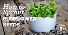Learn how to sprout sunflower seeds with our step-by-step instructions. Remember to check that your sunflower seeds are sproutable before getting started! Sunflower Sprouts Recipe, Sunflower Seeds, Growing Sunflowers, Planting Sunflowers, Sprouting Seeds, Planting Seeds, How To Make Sunflower, Growing Sprouts, Healthy Food Alternatives