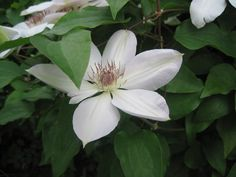 My white clematis..