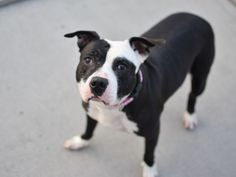 SAFE 6-21-2015 --- Brooklyn Center SPOTTY – A1037655 FEMALE, BLACK / WHITE, PIT BULL MIX, 5 yrs OWNER SUR – EVALUATE, NO HOLD Reason ALLERGIES Intake condition EXAM REQ Intake Date 06/06/2015
