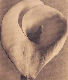 Tina Modotti Calla Lily 1925