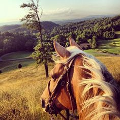 Rider's view of a Palomino on a hilltop with a field, pine woods and more hills in the distance