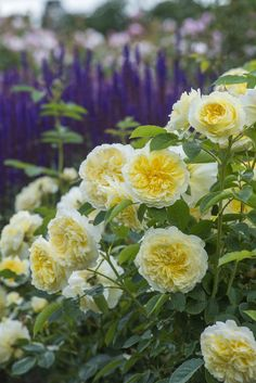 The Pilgrim with perennials #DavidAustin #GardenRoses