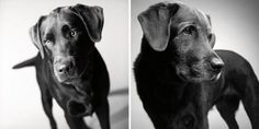 As old dogs: touching photo project Dogs quickly transformed from puppies into adult Pets. Photographer Amanda Jones takes the dogs for 20 years. Amanda Jones, Photography Projects, Dog Photography, Little Puppies, Cute Puppies, Dog Ages, Dog Years, Old Dogs, Dog Show