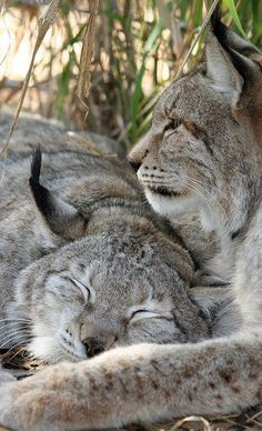So rare to see a Lynx, and a pair!