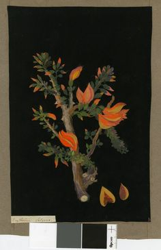 Erythrina Fulgens I From an album (Vol.IV, 19) I 1780 I Collage of coloured papers with bodycolour and watercolour on black ink background I Mary Delany (1700-1788)