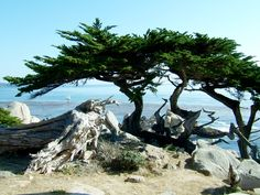 I want the lone cypress in my tattoo somewhere to rep my stay in Monterey. Monterey Cypress, Cypress Trees, Pebble Beach, Pacific Coast, Mount Rainier, I Tattoo, Places To Travel, Mountains, Water