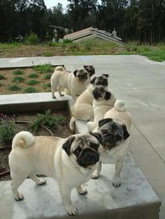 Happiness is a bunch of pugs