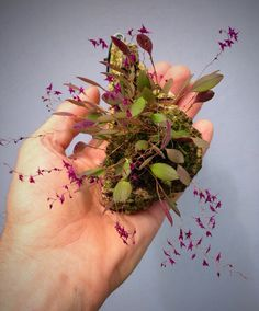 One of my all time favorite miniatures, Lepanthopsis astrophora, from Venezuala and Columbia. Unusual Flowers, Unusual Plants, Exotic Plants, Cool Plants, Amazing Flowers, Terrarium Plants, Garden Plants, House Plants, Miniature Orchids