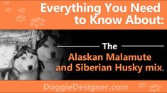 Alaskan Malamute and Siberian Husky mix - Plenty of energy and strength, but a mild, loving and easy-going nature. More about the breed in our guide. Husky Corgi, Malamute Husky, Alaskan Husky, Alaskan Malamute, Siberian Husky Puppies, Siberian Huskies, Pomeranian Puppy, Getting A Puppy