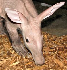 This wrinkly pink Aardvark calf debuted this week at Omaha's Henry Doorly Zoo.  See more photos today at zooborns.com