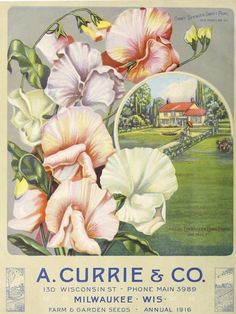 A. Currie and Co. catalog cover in 1916. It is featuring sweet peas.