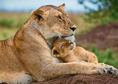 Frans de Waal - Public Page LION CUB Lioness and little one, photograph by Billy Dodson. Lion Pictures, Cute Animal Pictures, Family Pictures, Beautiful Cats, Animals Beautiful, Cute Baby Animals, Animals And Pets, Big Cats, Cats And Kittens