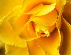 DP208 Yellow Rose www.phawkinsphoto.com Peter Hawkins©1992