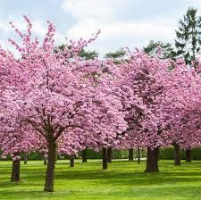 What Are The Pink Trees Thatbloomin Thespring Google Search In 2020 Pink Blossom Tree Cherry Blossom Tree Blossom Trees