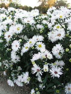 Asters are invaluable, adding superb color to your yard in the autumn. Choose Bluestone Perennials for your Aster flowers.
