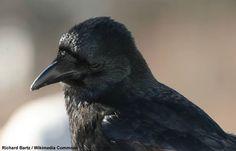Des Corneilles noires mangeant des oursins en Bretagne   Photo de Richard Bartz (Wikimedia Commons) : Corneille noire (Corvus corone). #ornithologie #oiseaux #nature #birds