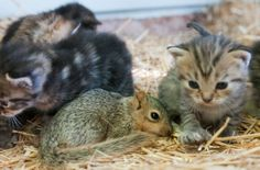 {kittens & their adopted baby squirrel}