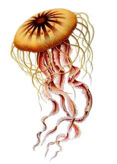 Haeckel: Chrysaora hysoscella