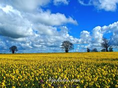 Rapeseed field and blue skies near Banbridge in County Down