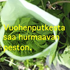 Vuohenputkesta saa ihanaa kiusankappalepestoa Raw Food Recipes, Vegetarian Recipes, Healthy Recipes, Just Eat It, Superfood, Food Inspiration, Pesto, Love Food, Herbalism