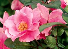 Antique Rose - Else Poulsen is a compact rose attaining a best kept height of four feet. The single, rose pink flowers occur often in clusters throughout...