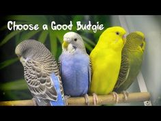 How to Choose a Good Budgie Parakeet Care, Budgie Parakeet, Budgies, Funny Birds, Keeping Healthy, Interesting History, Pets, Yorkshire, Youtube