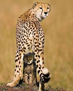 . Mommy and Me. Photography by @ (Piper Mackay). This mother had lost all her cubs but one and she was going to great lengths to protect her last cub. This shot captures the beauty of a mother protecting her young. #cub #cheetah #atrica #wildlife #BigCatFamily