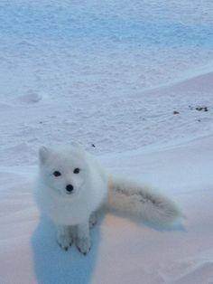 """I think you call this an Arctic Snow fox. But I really don't care because, I'd rather say,"""" Aren't you adorable!"""" Then say,"""" Your a snow fox, what do you eat? Cute Baby Animals, Animals And Pets, Funny Animals, Mundo Animal, My Animal, Snow Fox, Beautiful Creatures, Animals Beautiful, Wolf Hybrid"""