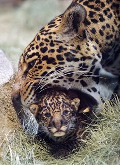 Awww baby jaguar born at San Diego Zoo about 3 weeks old now!(: