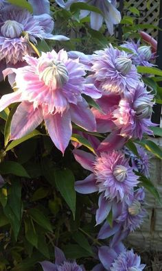 "Clematis Josephine : Large lilac base petals of 5"" surround pom-pom centers of pink-lilac"