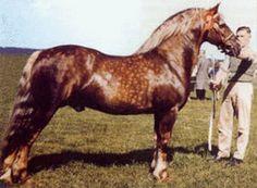 Llanarth Braint   breed Welsh Pony & Cob color Palomino sex stallion height 147 cm ~ 14.2 hands date of birth   1948 land of birth UK United Kingdom