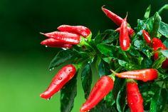 Chilli papriky