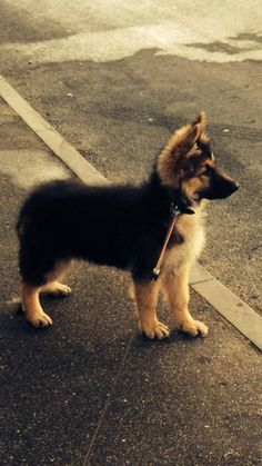 #German #Shepherd #puppy More
