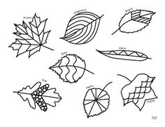 Color the leaves while becoming familiar with common North American leaf shapes. Autumn Leaf Color, Autumn Leaves, Leaf Coloring Page, Coloring Pages, Science Worksheets, Leaf Shapes, Zentangles, Hair Accessories, Creative