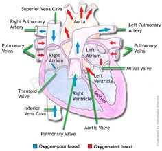 Human heart structure diagram
