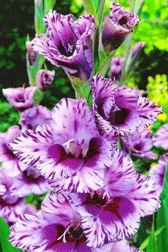 Gladiolus - A wonderful Summer Flower
