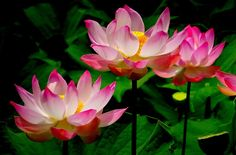 Free Pictures, Free Images, Abstract Photos, Lotus Flower, Planting Flowers, Bloom, Spring, Garden, Plants